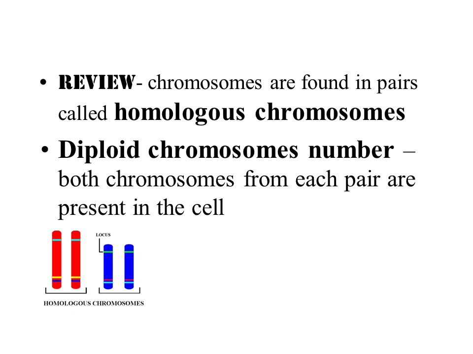 Review- chromosomes are found in pairs called homologous chromosomes