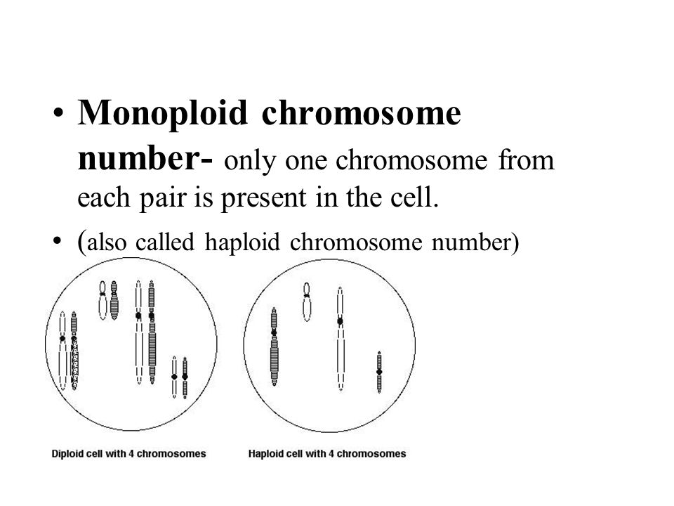 Monoploid chromosome number- only one chromosome from each pair is present in the cell.
