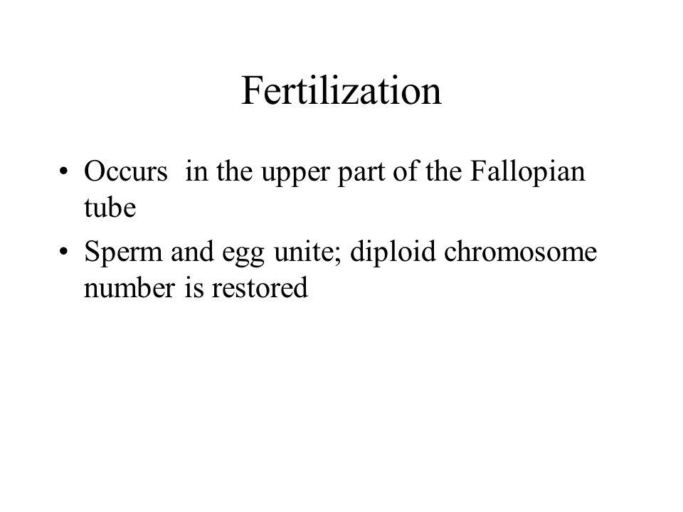 Fertilization Occurs in the upper part of the Fallopian tube
