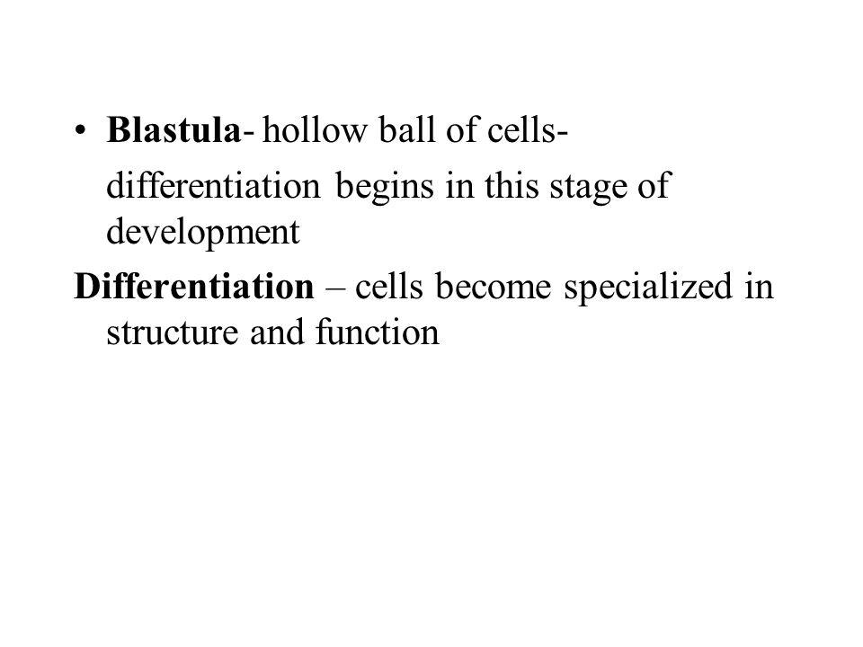 Blastula- hollow ball of cells-