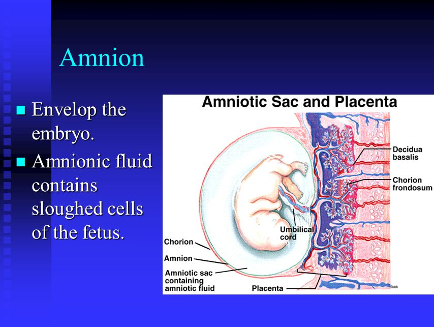 Amnion Envelop the embryo.