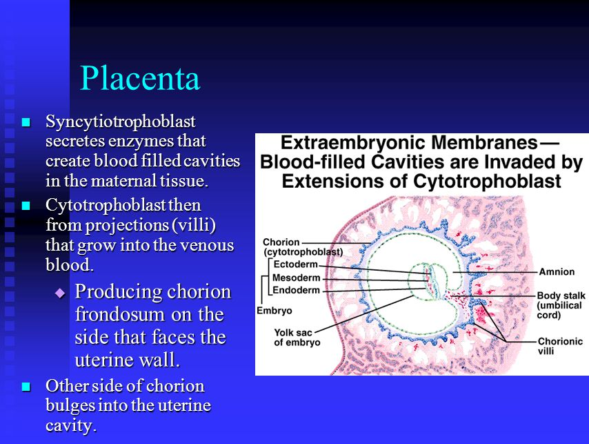 Placenta Syncytiotrophoblast secretes enzymes that create blood filled cavities in the maternal tissue.