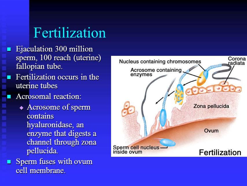 Fertilization Ejaculation 300 million sperm, 100 reach (uterine) fallopian tube. Fertilization occurs in the uterine tubes.