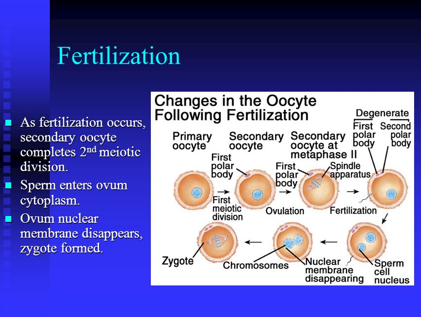 Fertilization As fertilization occurs, secondary oocyte completes 2nd meiotic division. Sperm enters ovum cytoplasm.