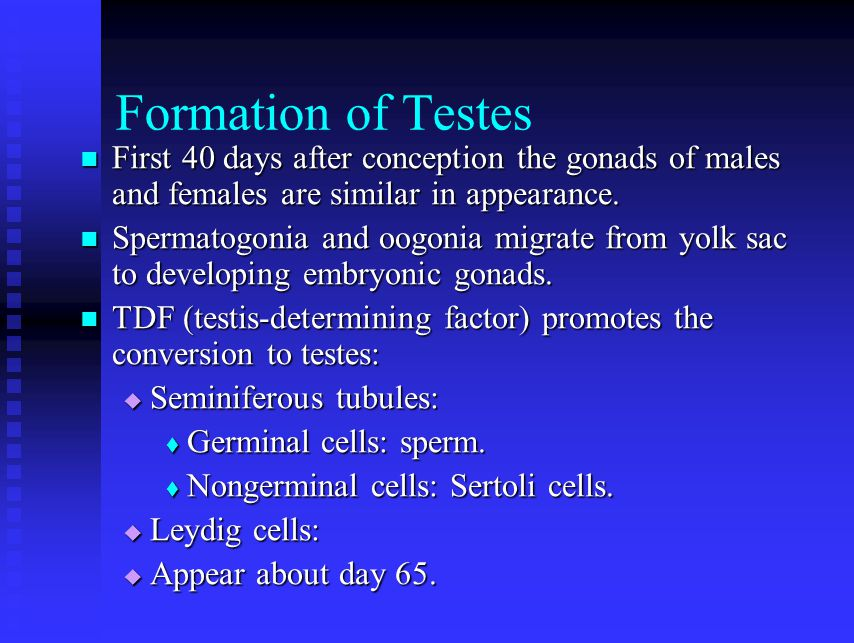Formation of Testes First 40 days after conception the gonads of males and females are similar in appearance.