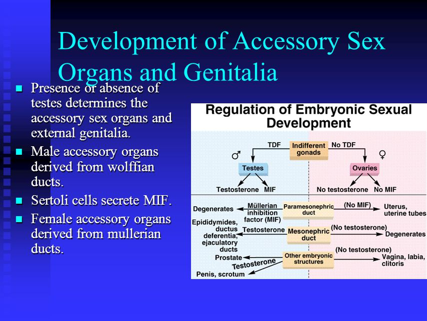 Development of Accessory Sex Organs and Genitalia