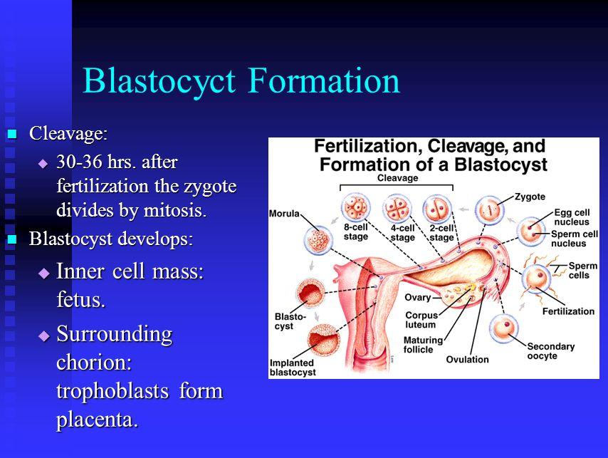 Blastocyct Formation Inner cell mass: fetus.