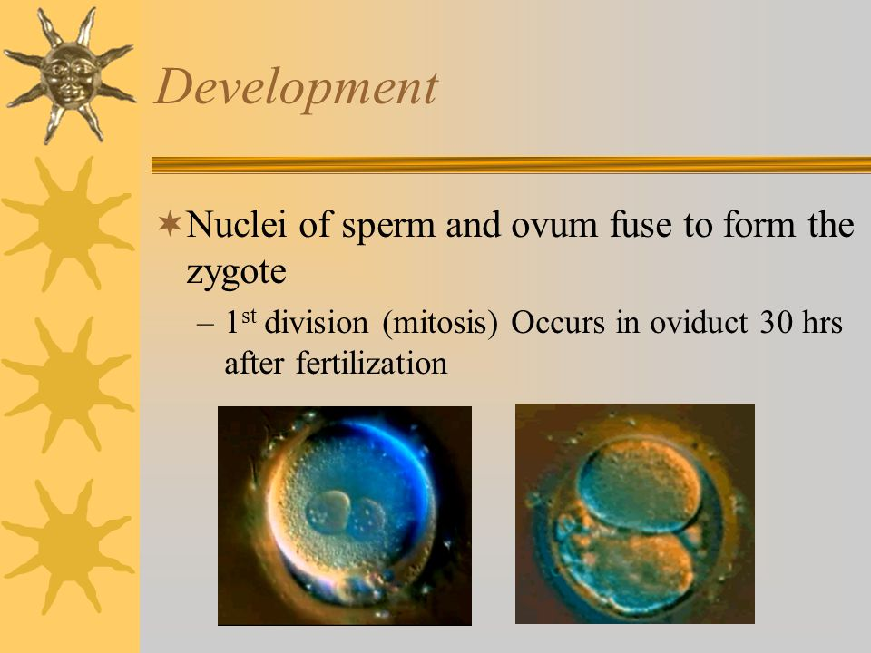 Development Nuclei of sperm and ovum fuse to form the zygote