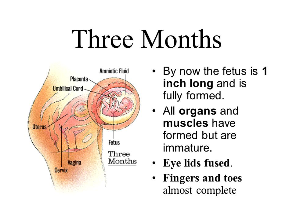Three Months By now the fetus is 1 inch long and is fully formed.