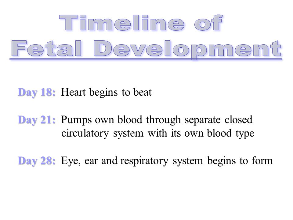 Timeline of Fetal Development