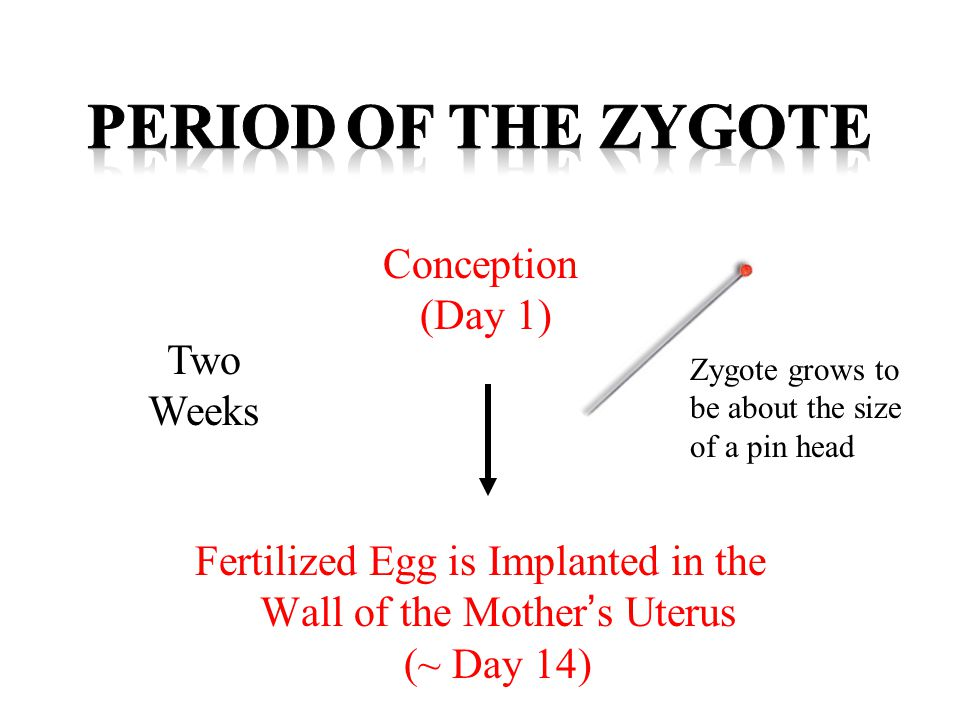 Period of the zygote Conception (Day 1) Two Weeks
