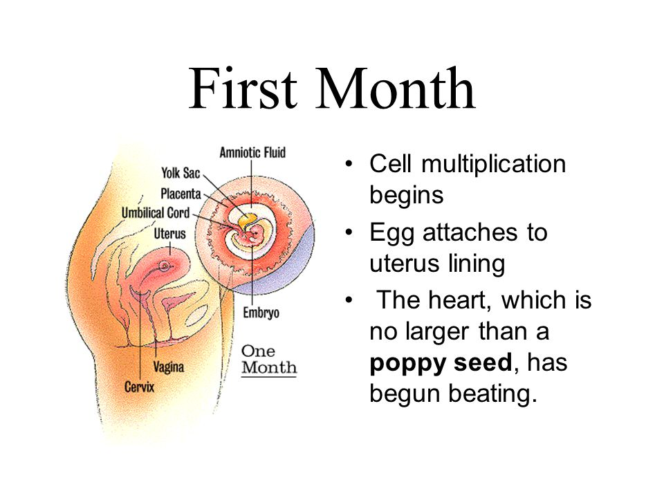First Month Cell multiplication begins Egg attaches to uterus lining