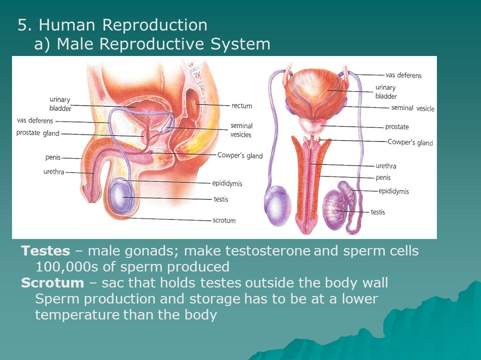 a) Male Reproductive System