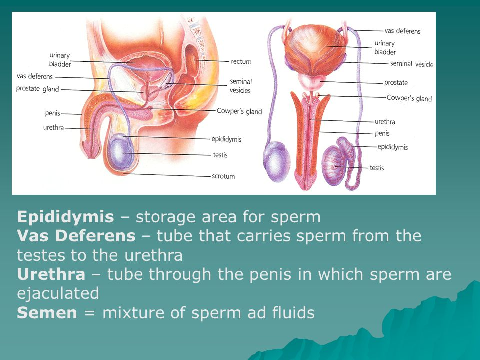 Epididymis – storage area for sperm