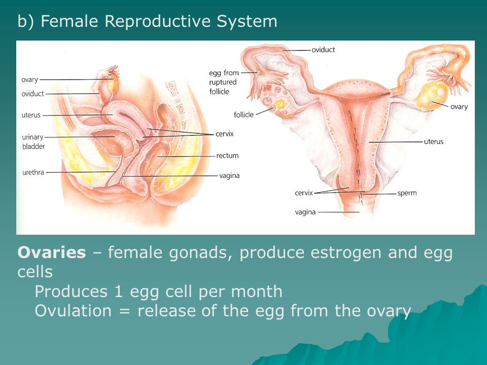 b) Female Reproductive System