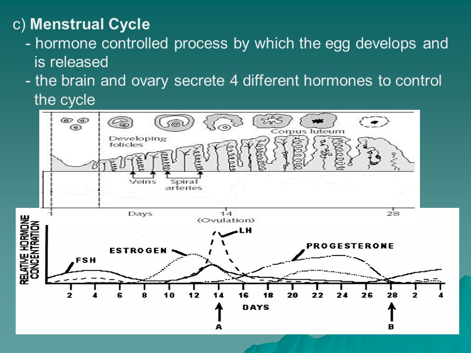 c) Menstrual Cycle - hormone controlled process by which the egg develops and. is released.
