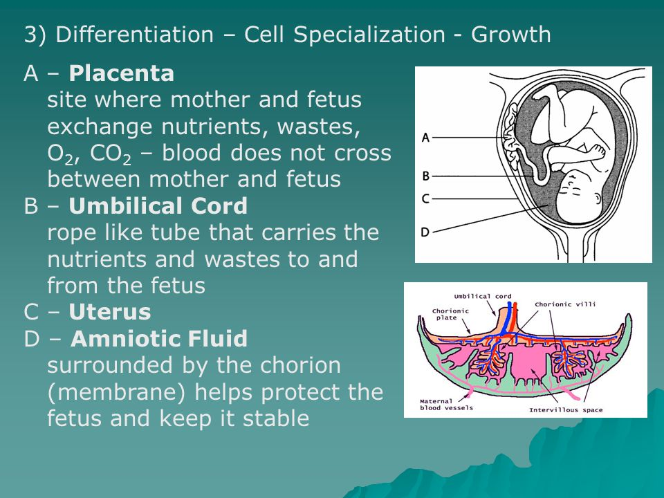 3) Differentiation – Cell Specialization - Growth
