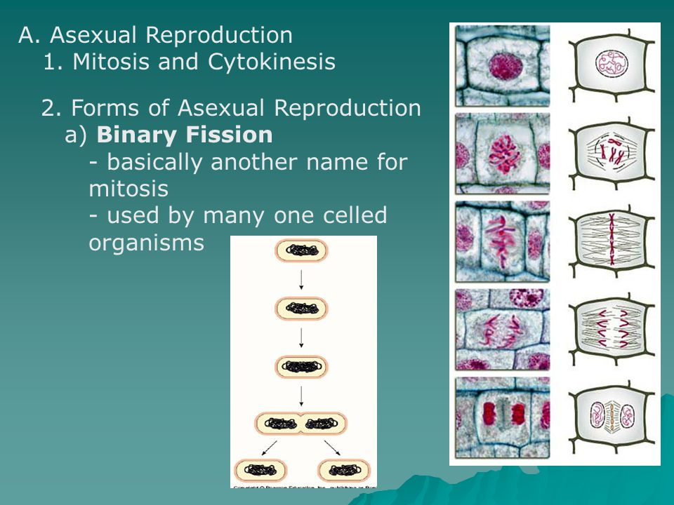 A. Asexual Reproduction