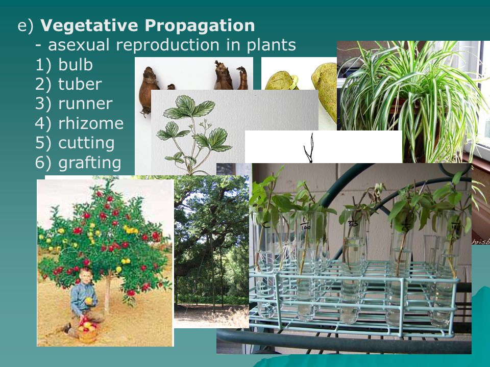 e) Vegetative Propagation
