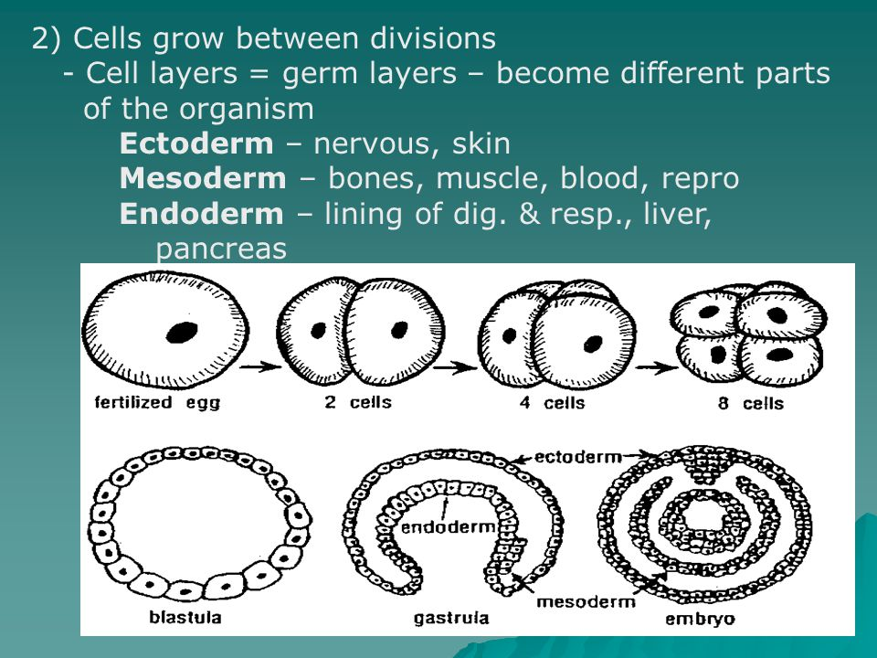 2) Cells grow between divisions