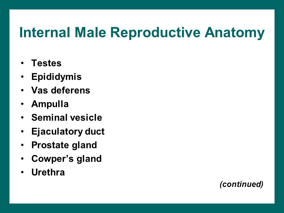 Internal Male Reproductive Anatomy
