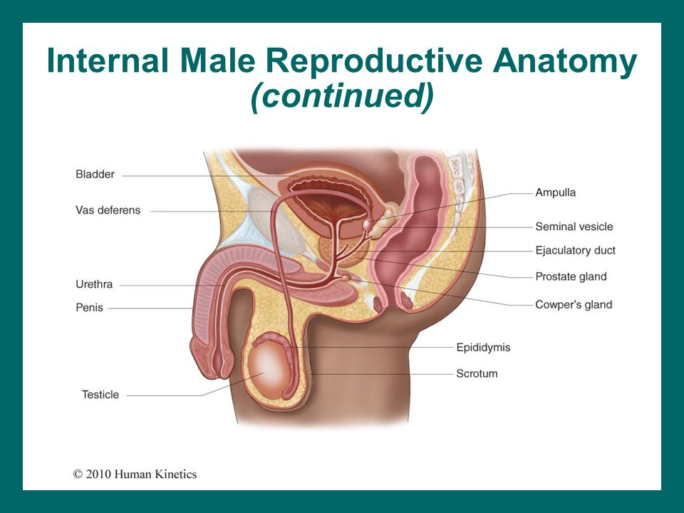 Internal Male Reproductive Anatomy (continued)