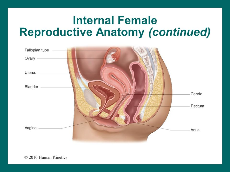 Internal Female Reproductive Anatomy (continued)
