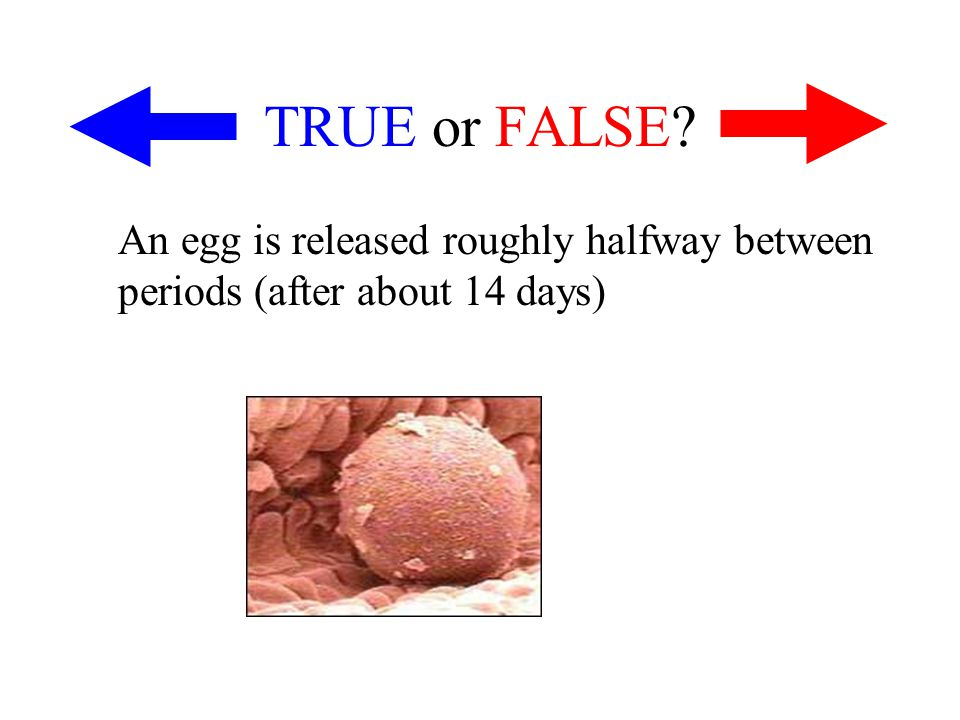 TRUE or FALSE An egg is released roughly halfway between periods (after about 14 days)