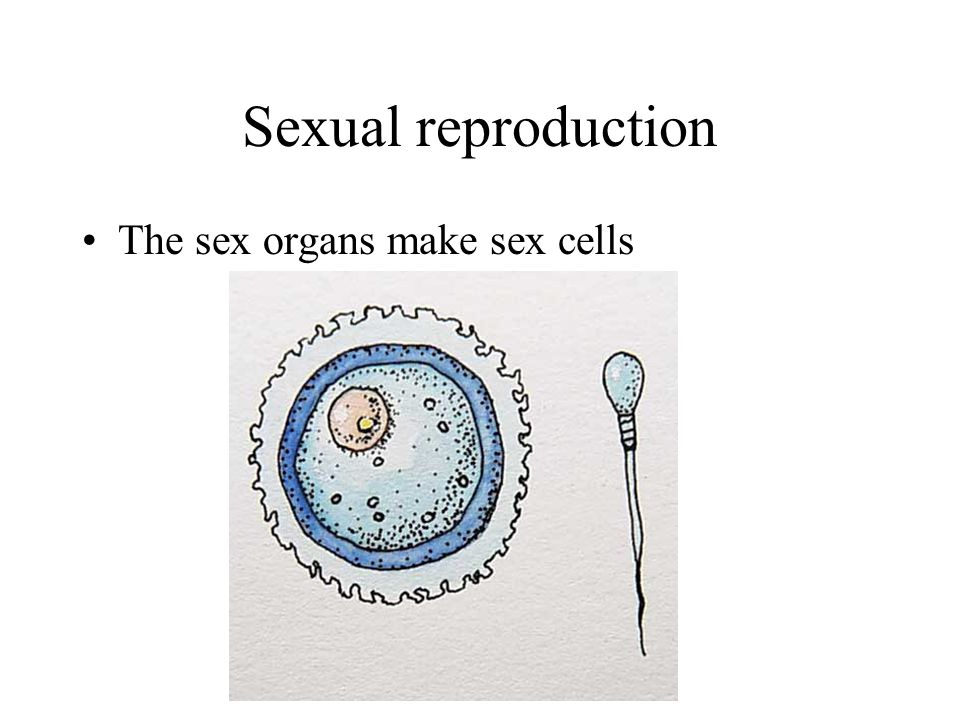 Sexual reproduction The sex organs make sex cells