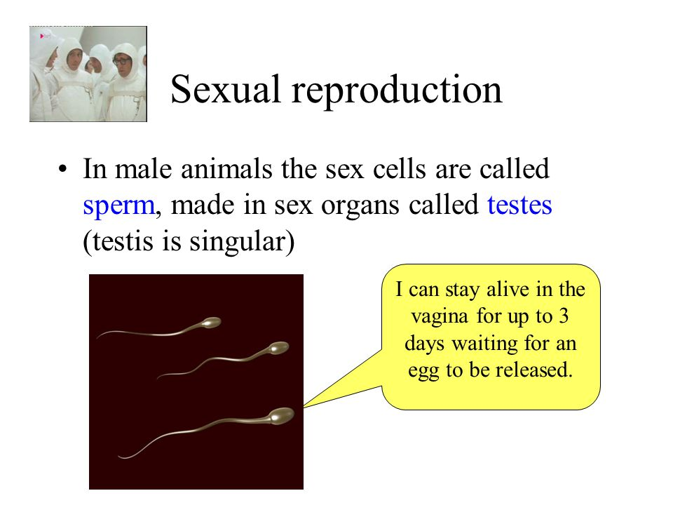 Sexual reproduction In male animals the sex cells are called sperm, made in sex organs called testes (testis is singular)