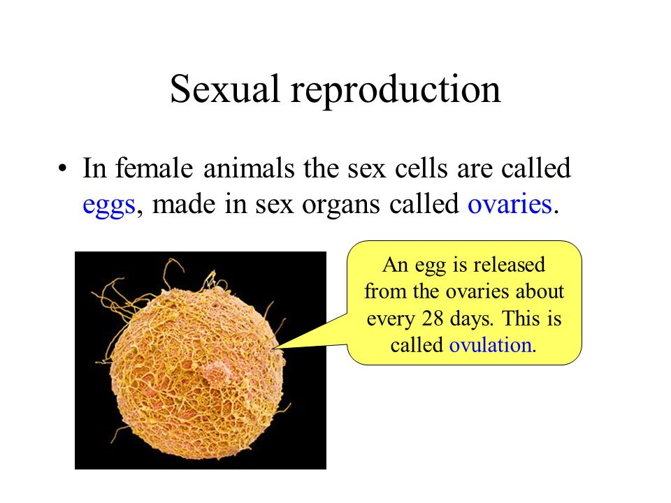 Sexual reproduction In female animals the sex cells are called eggs, made in sex organs called ovaries.