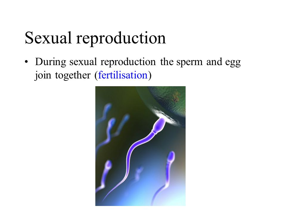 Sexual reproduction During sexual reproduction the sperm and egg join together (fertilisation)