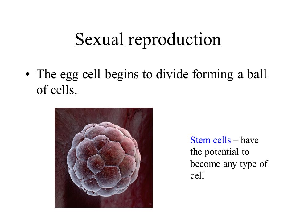 Sexual reproduction The egg cell begins to divide forming a ball of cells.