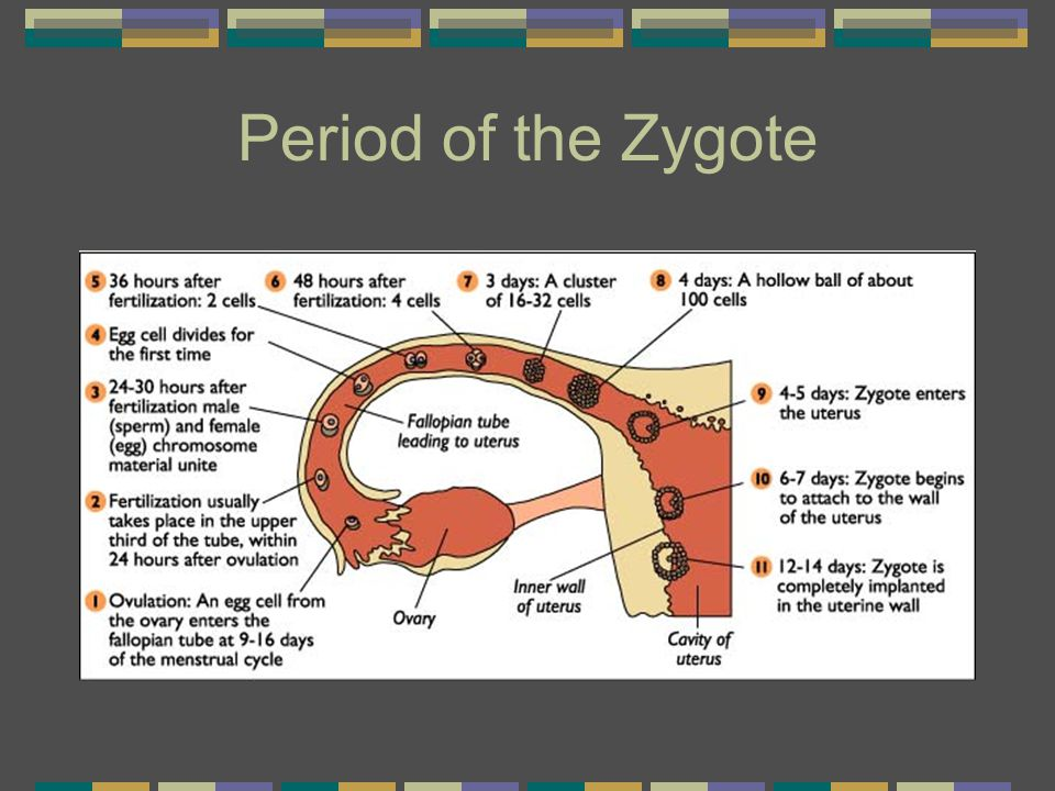 Period of the Zygote