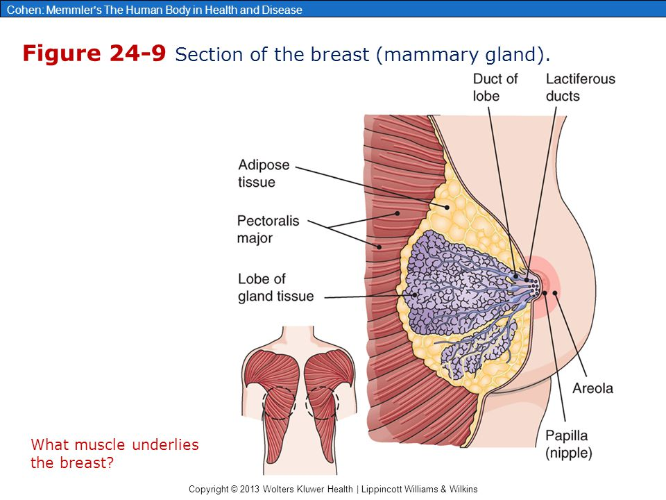 Figure 24-9 Section of the breast (mammary gland).