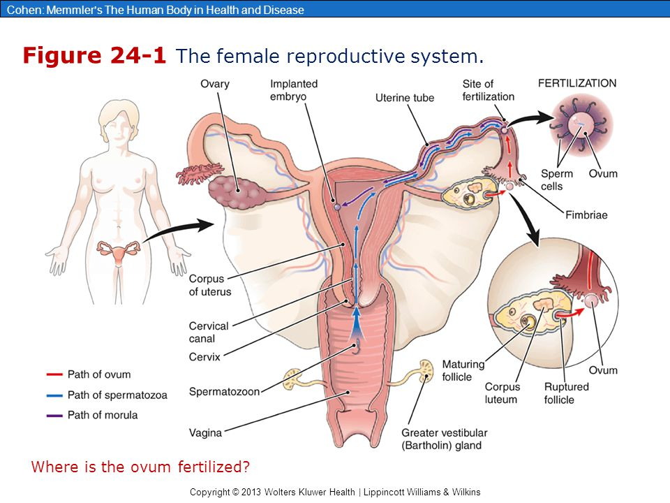 Figure 24-1 The female reproductive system.