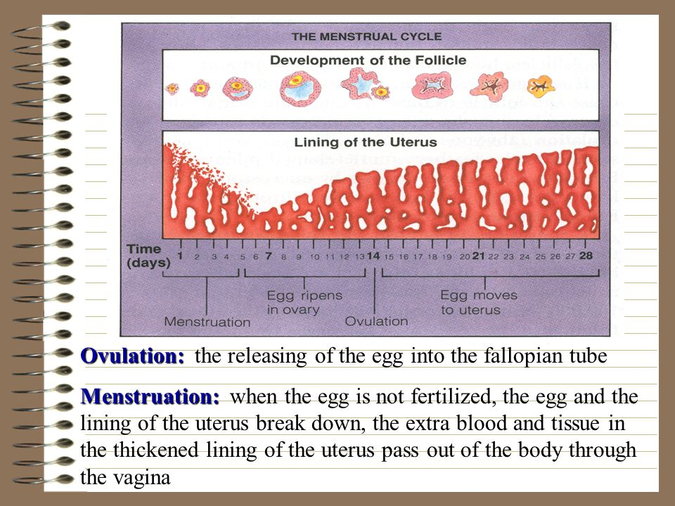 Ovulation: the releasing of the egg into the fallopian tube