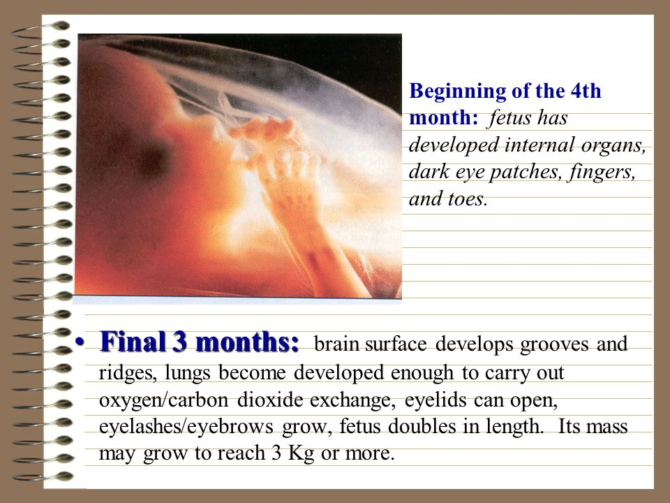 Beginning of the 4th month: fetus has developed internal organs, dark eye patches, fingers, and toes.
