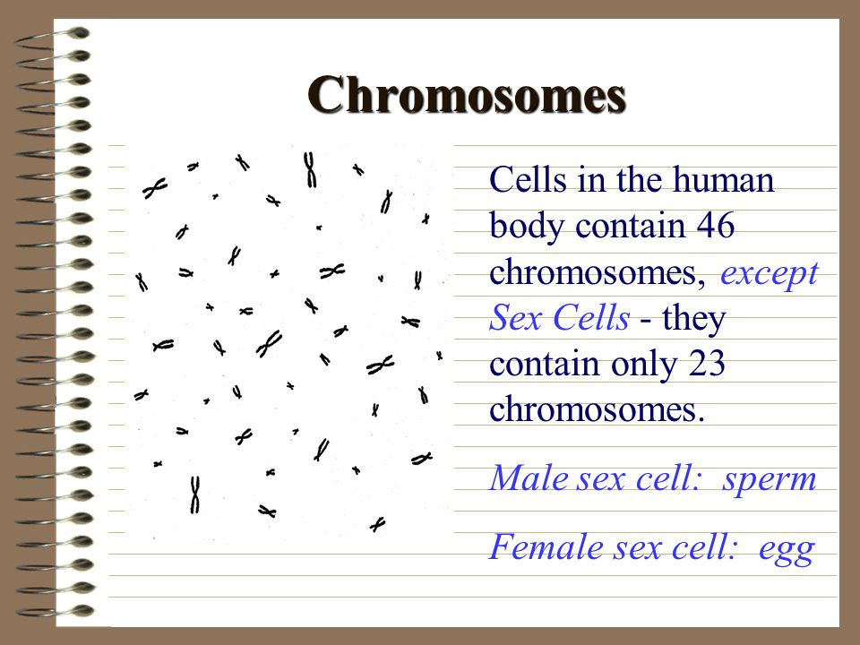 Chromosomes Cells in the human body contain 46 chromosomes, except Sex Cells - they contain only 23 chromosomes.