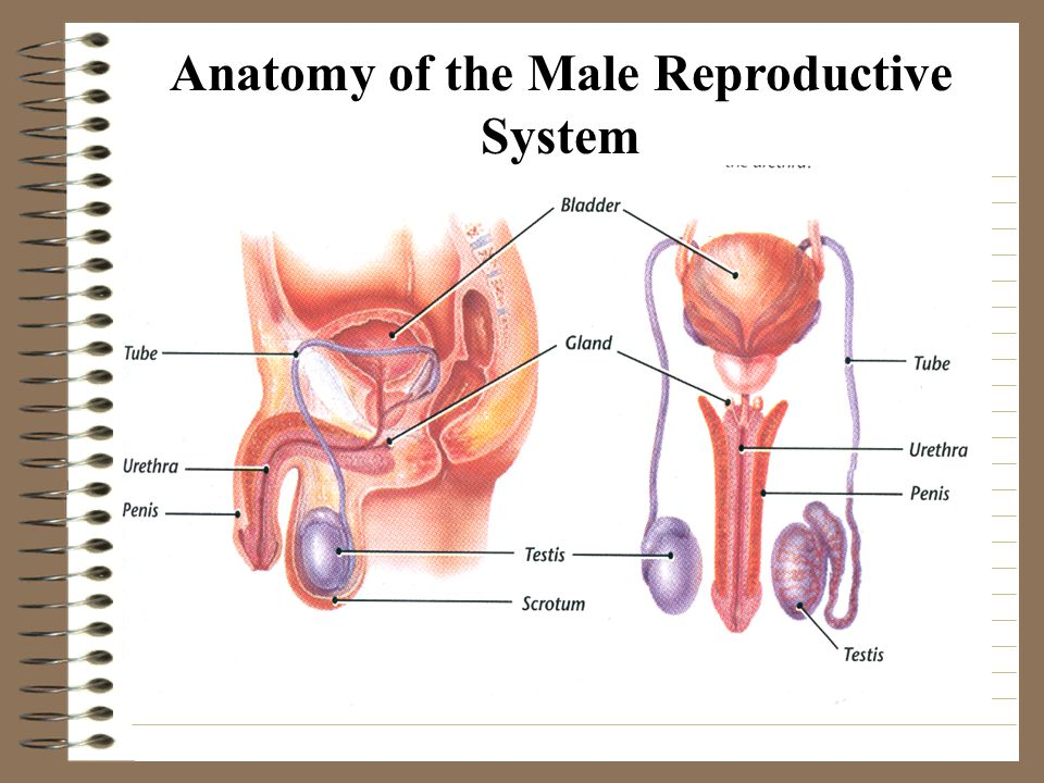 Male And Female Reproductive Systems Ppt Video Online Download