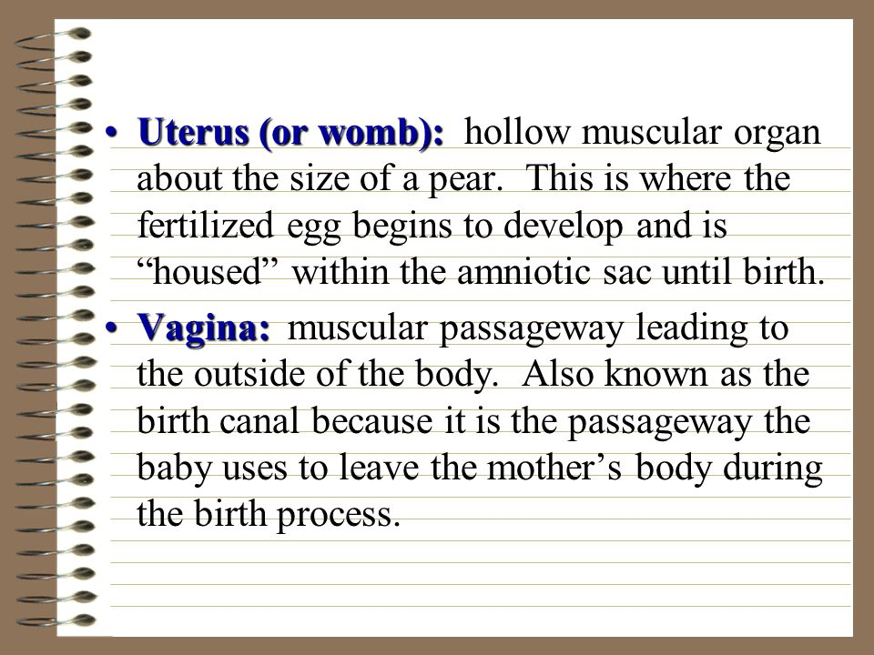 Uterus (or womb): hollow muscular organ about the size of a pear