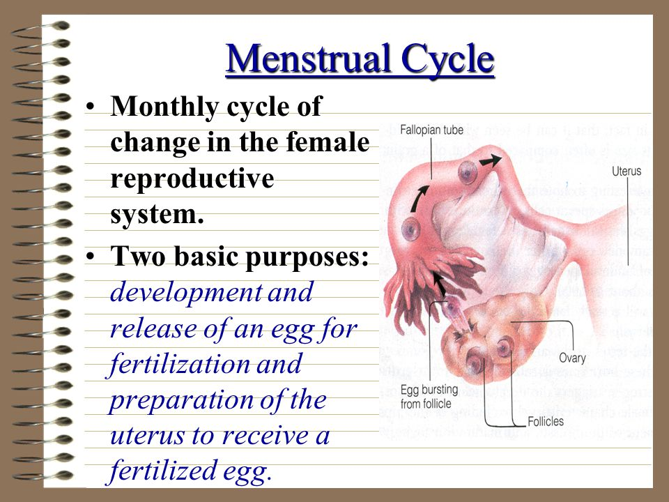 Menstrual Cycle Monthly cycle of change in the female reproductive system.