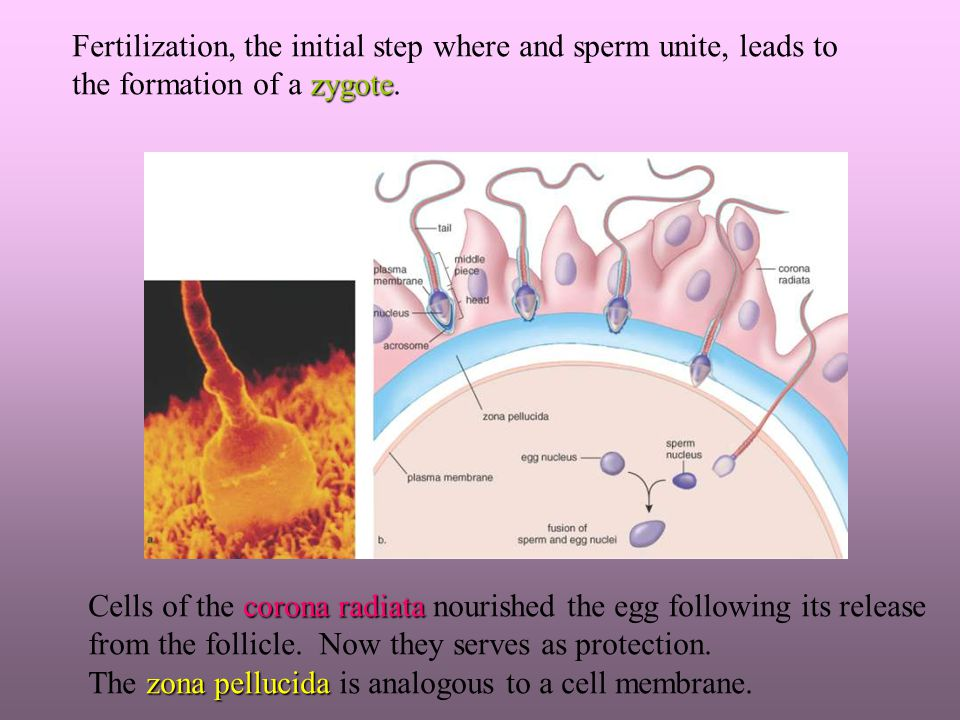 Fertilization, the initial step where and sperm unite, leads to