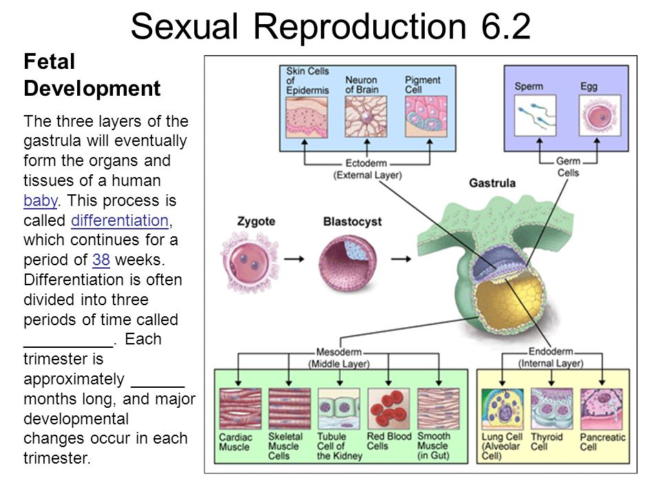 Sexual Reproduction 6.2 Fetal Development