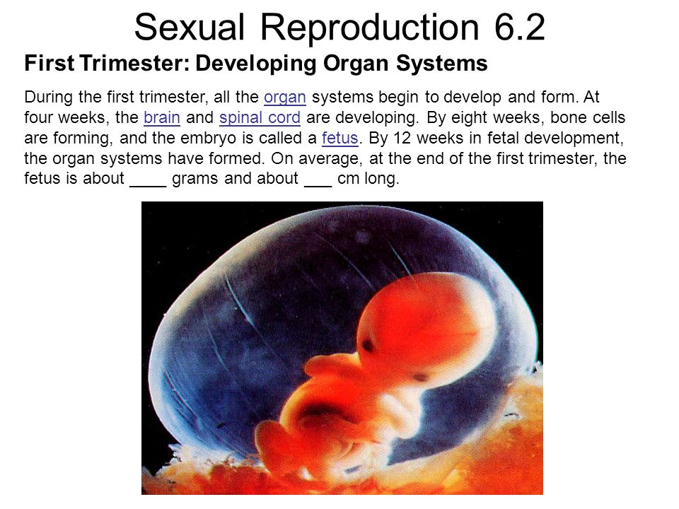 Sexual Reproduction 6.2 First Trimester: Developing Organ Systems