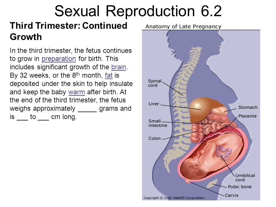 Sexual Reproduction 6.2 Third Trimester: Continued Growth