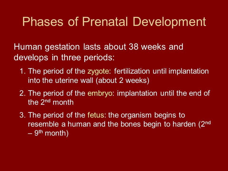 Phases of Prenatal Development