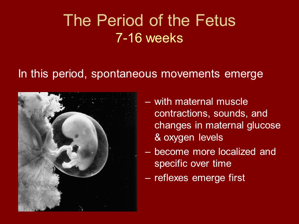 The Period of the Fetus 7-16 weeks