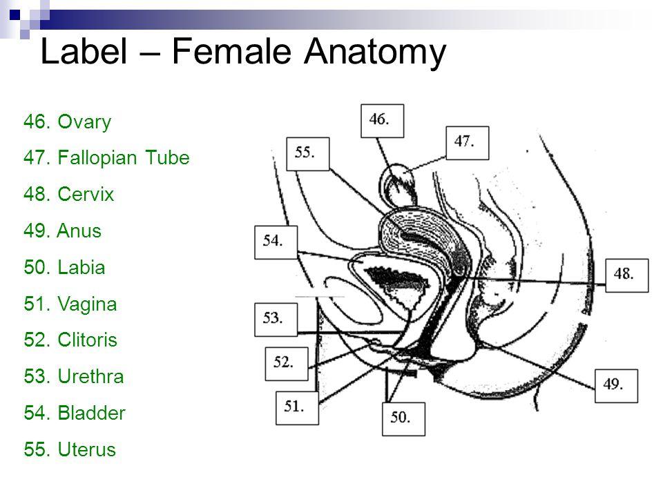 Label – Female Anatomy Ovary Fallopian Tube Cervix Anus Labia Vagina