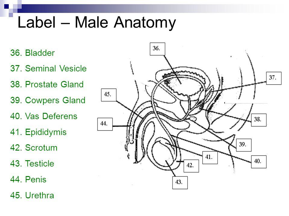 Label – Male Anatomy Bladder Seminal Vesicle Prostate Gland